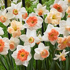 Daffodils Pink Mixture Set of 50 Bulbs