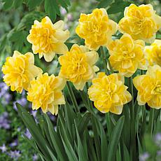 Daffodils Sweet Pomponette Set of 12 Bulbs