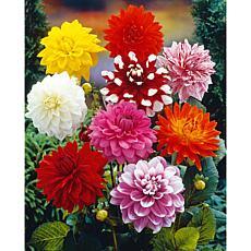 Dahlias Decorative Mixed Set of 7 Bulbs