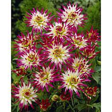 Dahlias Hayley Jane Set of 5 Bulbs