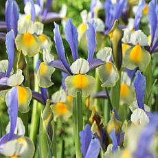 Dutch Iris Miss Saigon Set of 25 Bulbs