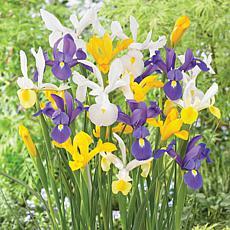 Dutch Iris Mixed Set of 25 Bulbs