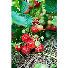 Ever Bearing Strawberries Ever Sweet Set of 20 Roots