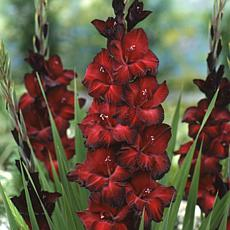 Gladiolus Large Flowering Black Beauty Set of 12 Bulbs