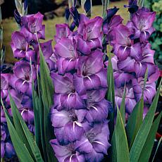 Gladiolus Large Flowering Grande Passion Set of 12 Bulbs