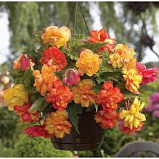 Hanging Basket Begonias Golden Balcony Set of 5 Bulbs