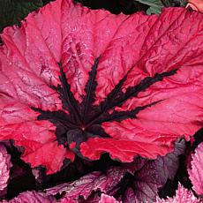 Leaf & Petal Designs 1-piece Ruby Slippers Begonia