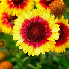 Leaf & Petal Designs 3-piece Sunset Halo Gaillardia