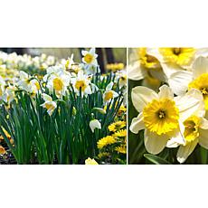 Leaf & Petal Designs 4-piece Fragrant Breeze Daffodil Bloom Pad