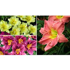 Leaf & Petal Designs 6-piece Color Sizzle Daylilies