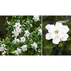 Leaf & Petal Designs Fragrant Reblooming Patio Gardenia