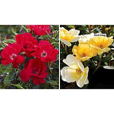 Leaf & Petal Designs Sunny Knock Out Rose