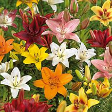 Lilies Asiatic Mixed Set of 12 Bulbs