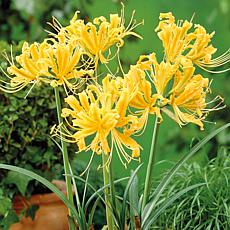Lycoris Aurea Set of 6 Bulbs