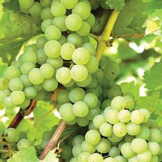 Niagara Grapes - 1 Plant