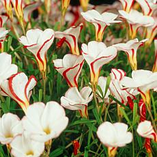 Oxalis Versicolor Set of 10 Bulbs