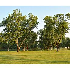 Pecan Tree Collection Set of 3 Root Stocks