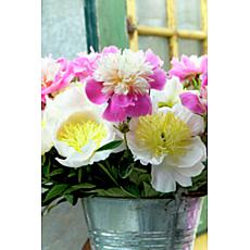 Peonies White & Pink Blend Set of 5 Roots