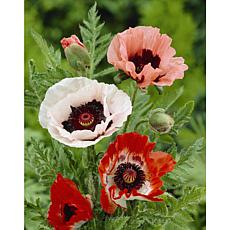 Poppies Mixed Set of 5 Roots
