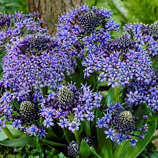 Scilla Peruviana Set of 5 Bulbs