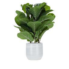 "South Street Loft 24"" Fiddle Leaf Plant in Ceramic Pot"