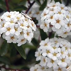 "Spiraea Snowmound 4"" Potted Rocketliners®"