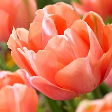 Tulips 2019 Color Of The Year Living Coral Set of 12 Bulbs