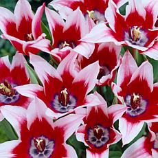 Tulips Akita Set of 12 Bulbs