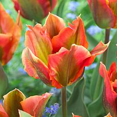 Tulips Artist Set of 12 Bulbs