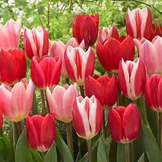 Tulips Candy Striper Blend Set of 15 Bulbs