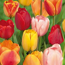 Tulips Darwin Hybrid Mixture Set of 100 Mammoth Bulbs