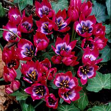 Tulips Little Beauty Set of 12 Bulbs