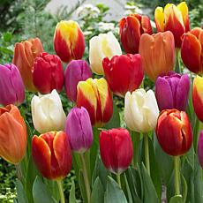 Tulips Triumph Mixture Set of 25 Bulbs