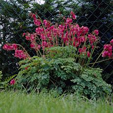 Van Zyverden Bleeding Hearts Luxuriant - 1 Root