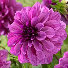 Van Zyverden Dahlias Blue Boy Bulbs 5-pack