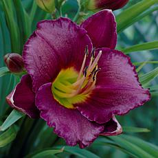 Van Zyverden Daylilies Bela Lugosi - Set of 3 Roots