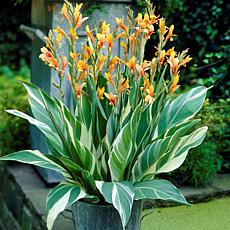 Van Zyverden Giant Cannas Stuttgart Bulbs 5-pack