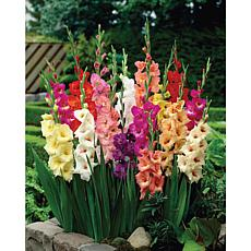 Van Zyverden Gladiolus Flowering Stars & Stripes Mixed Bulbs 35-pack