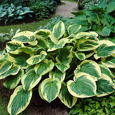 Van Zyverden Hosta Twilight - Set of 3 Roots