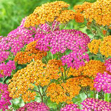 Van Zyverden Yarrow Fragrant Terracotta Blend - Set of 8 Roots