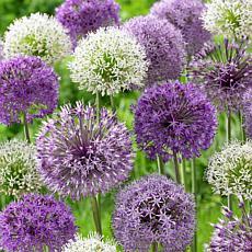 VanZyverden Allium Blend 12-piece Bulb Set