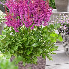 VanZyverden Astilbe Visions® Kit w/ Planter, Planting Medium and Roots