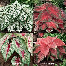 VanZyverden Caladiums 4 Varieties 24-piece Bulb Set