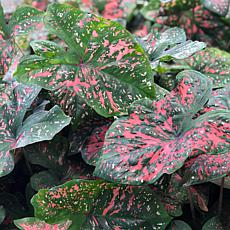 VanZyverden Caladiums Fancy Leaf Freckles Bulbs 6-Pack