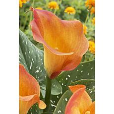 VanZyverden Callas Passion Fruit 5-piece Bulb Set