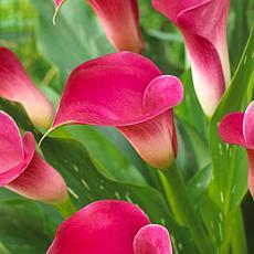 VanZyverden Callas Pink Jewel 5-piece Bulb Set