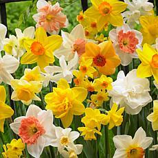 VanZyverden Daffodils Kitchen Sink Mixture 50pc Bulbs