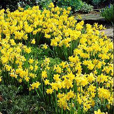 VanZyverden Daffodils Tete A Tete 25pc Bulb Set