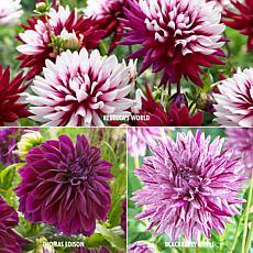 VanZyverden Dahlias 3 Varieties 15-piece Bulb Set