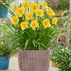 VanZyverden Day Lily Kit w/ Ratten Planter, Planting Medium and Root